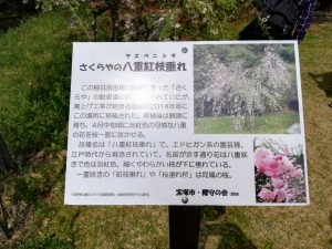 武田尾の八重紅しだれ桜の看板