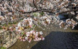 白川たぬき橋の桜
